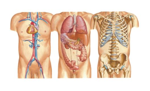 Body-anatomy-and-organs