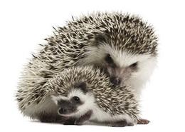 hadgehog_s