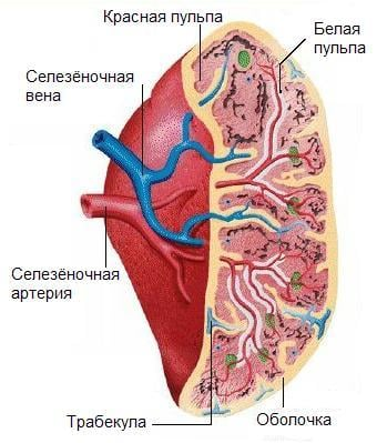 spleen_structure