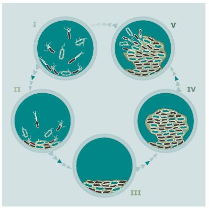 Формирование биопленки