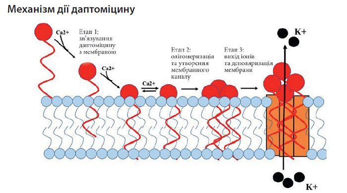 Механізм дії даптоміцину