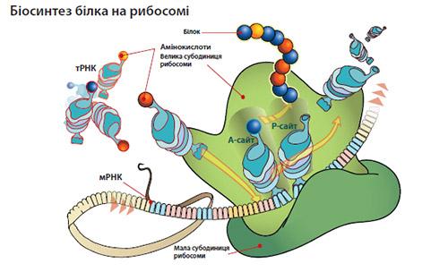 Біосинтез білка на рибосомі