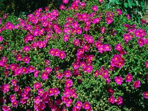 Rock rose (Cistus creticus incanus)