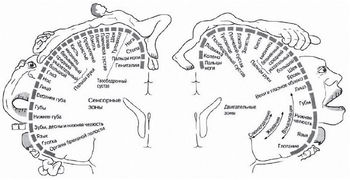 Функціональна мапа кори головного мозку